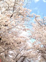 花あかり~願い桜が結ぶ過去~